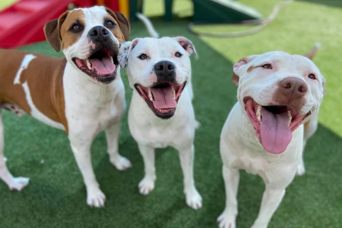 three pitbulls in a play yard