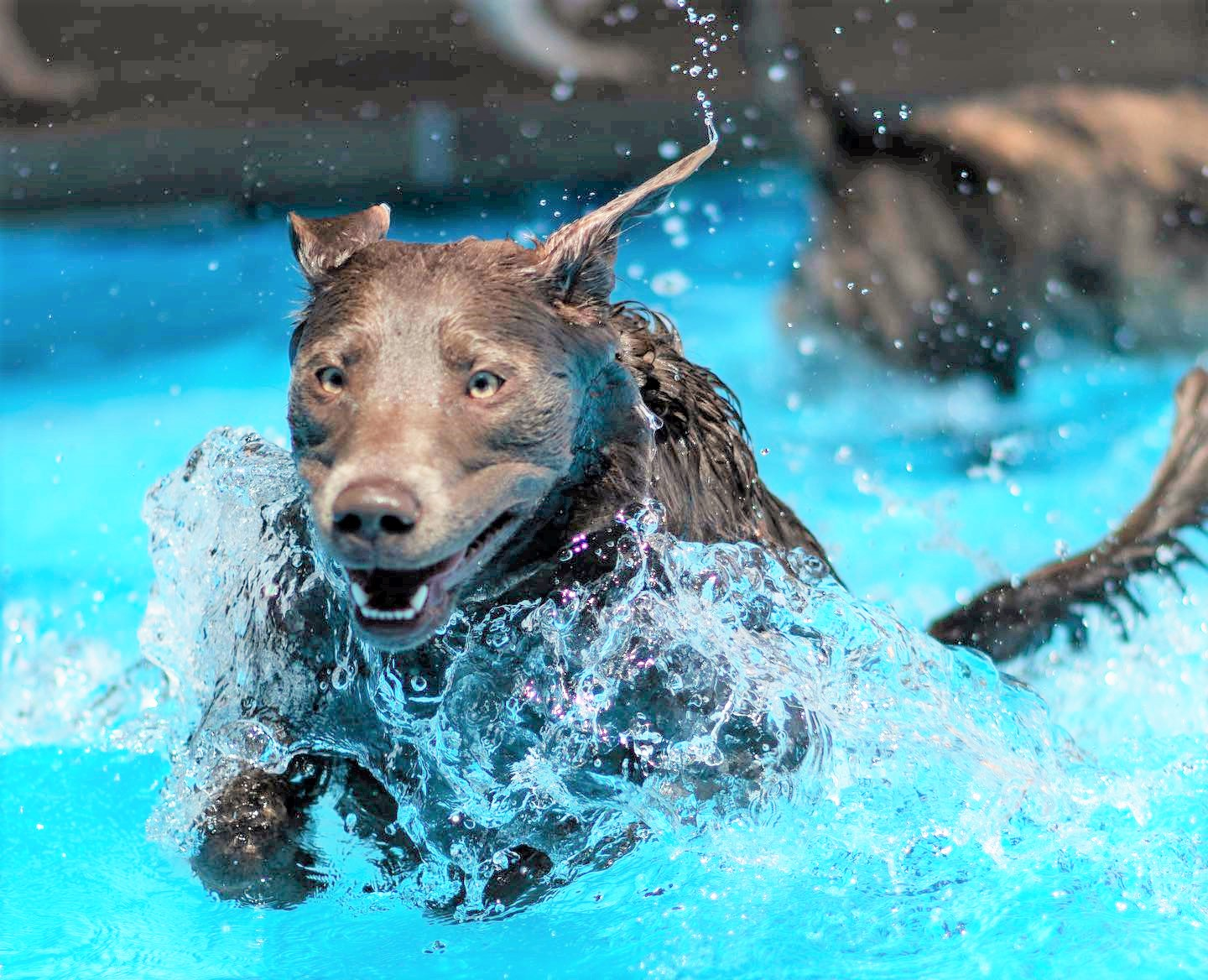 dog jumping into pool